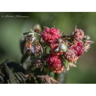 FL-01 Bee on the Raspberries Image