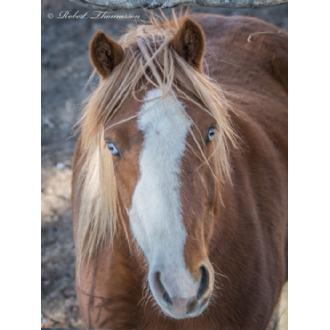 HR-10 Blue Eyed Draft Horse Image