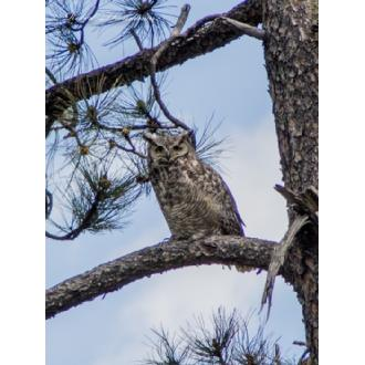 WL-23 Immature Great Horned 2 Image
